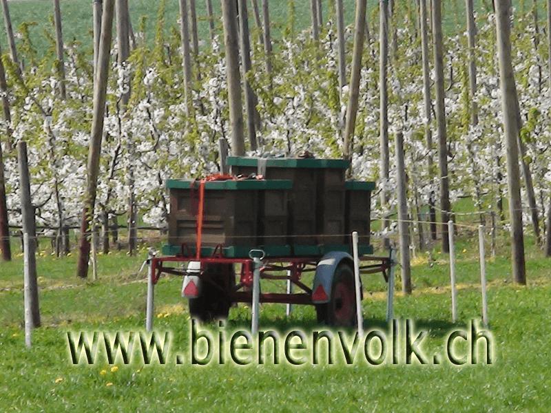 Wanderwagen in der Kirschblühte