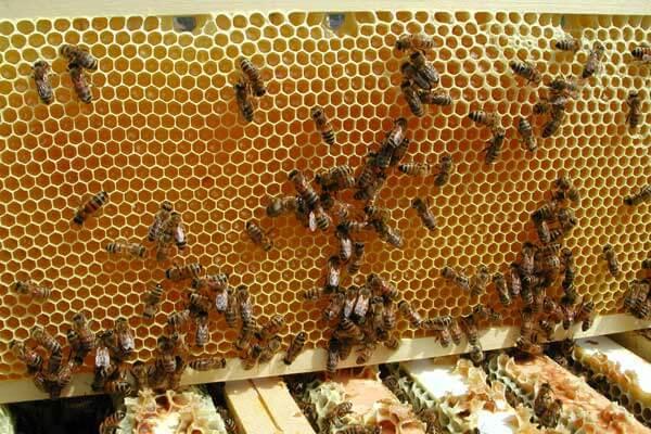 Imkerei zum Bienenvolk