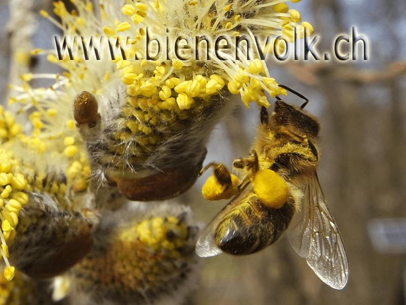 Weiden Pollen