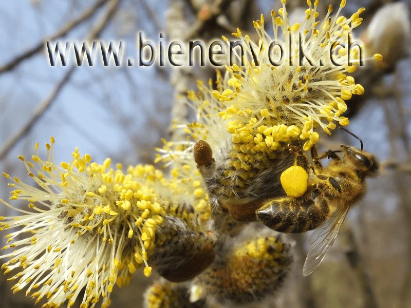 Biene sammelt Weidenpollen