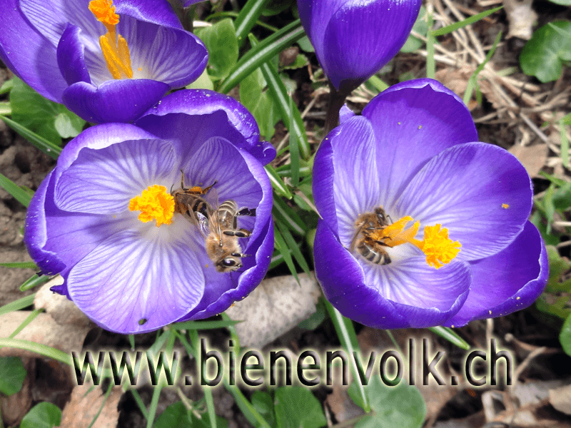 Bienen sammeln Krokus Blütenpollen