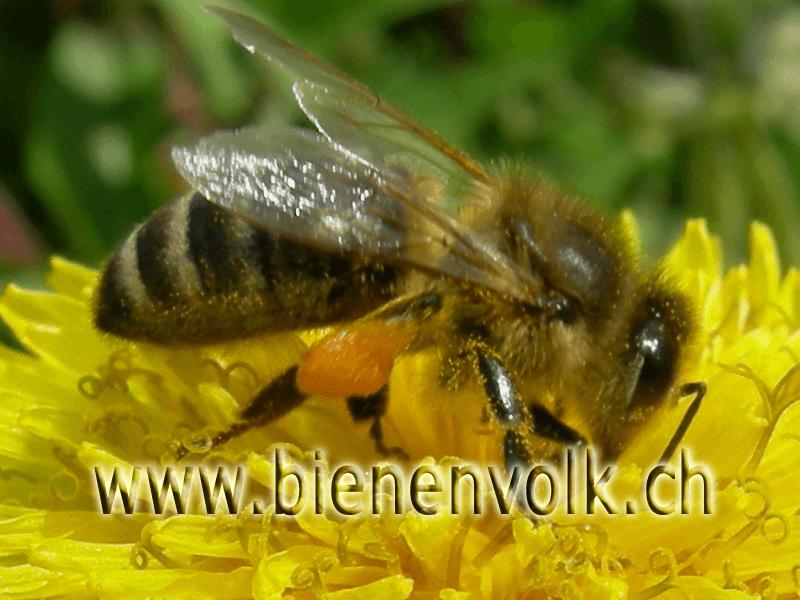 Biene sammelt Löwenzahnpollen