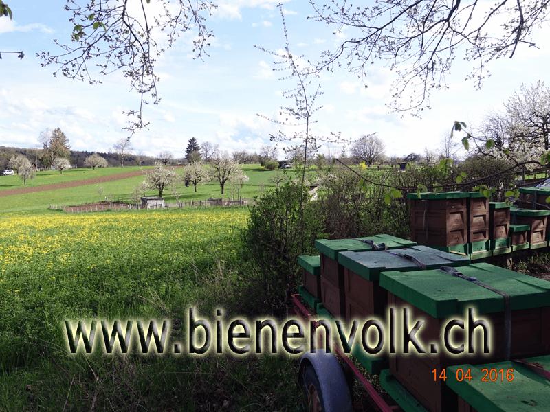 Trachtangebot am 14.4 , Löwenzahn und Kirschbäume blühen