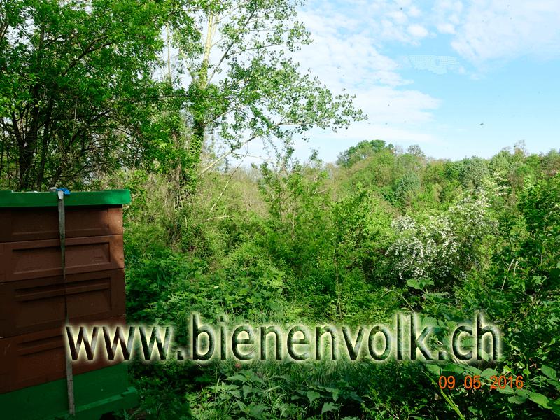 Bienenstand am 9.5.16