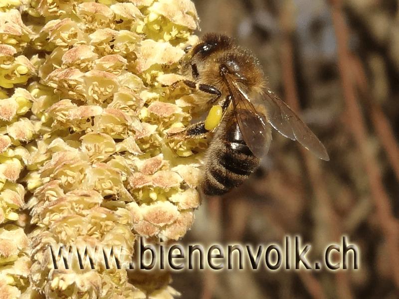 Biene sammelt Haselpollen
