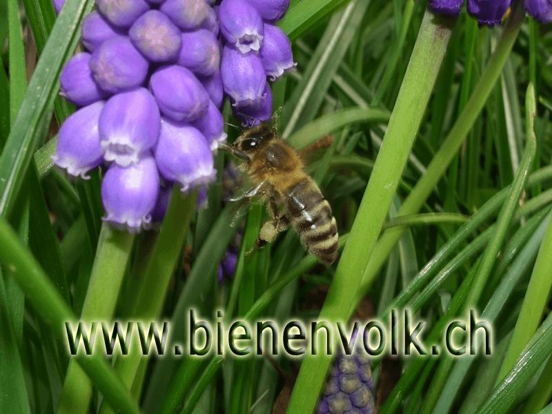 Traubenhyazinthen (Muscari aucher)