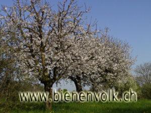blühende Kischbäume