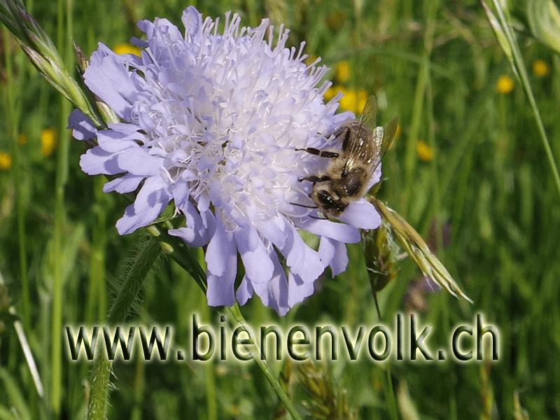 Acker Witwenblume / Knautia arvensis