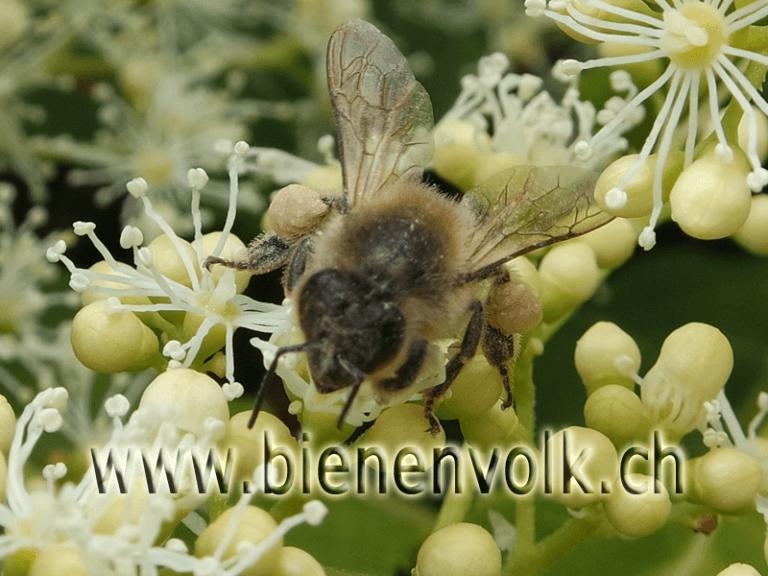 Hydrangea petiolaris / Kletterhortensie