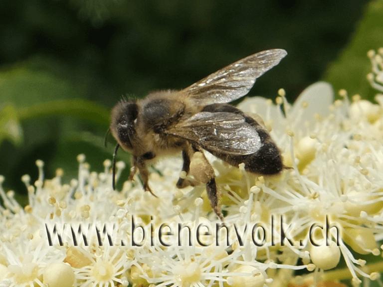 Kletterhortensie / Hydrangea petiolaris